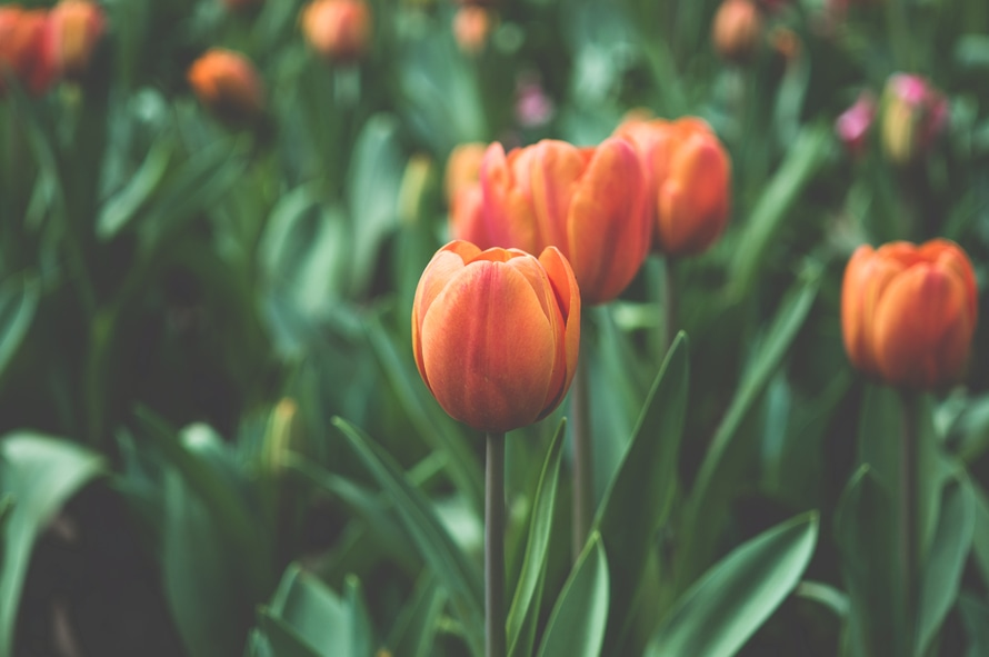 A photo of tulips